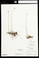 Antennaria rosea subsp. confinis image