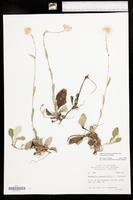 Antennaria parlinii image