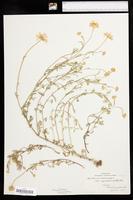 Anthemis arvensis var. agrestis image