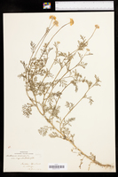 Anthemis arvensis var. agrestis image