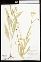 Arnica amplexicaulis image
