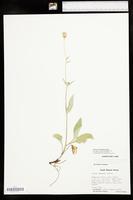 Arnica lonchophylla image