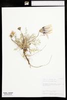 Image of Arctotis leptorhiza