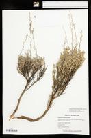 Artemisia arbuscula image