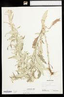 Artemisia ludoviciana var. ludoviciana image