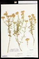 Brickellia eupatorioides var. corymbulosa image