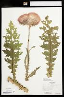 Carduus nutans image