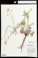 Centaurea stoebe subsp. micranthos image