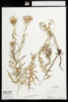 Cirsium flodmanii image
