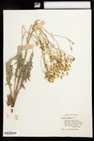 Crepis acuminata image