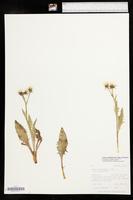 Crepis occidentalis subsp. occidentalis image