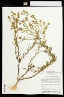 Dieteria canescens var. glabra image