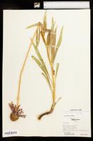 Echinacea paradoxa image