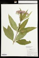 Eutrochium maculatum var. bruneri image