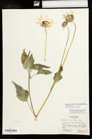 Helianthus petiolaris image