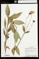 Helianthus pauciflorus image
