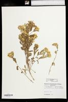 Heterotheca fulcrata var. fulcrata image