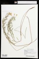 Heterotheca stenophylla image