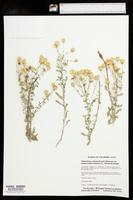 Heterotheca villosa var. pedunculata image