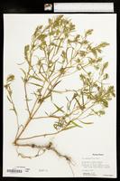 Iva angustifolia image