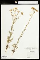 Hymenopappus tenuifolius image
