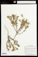 Machaeranthera tanacetifolia image